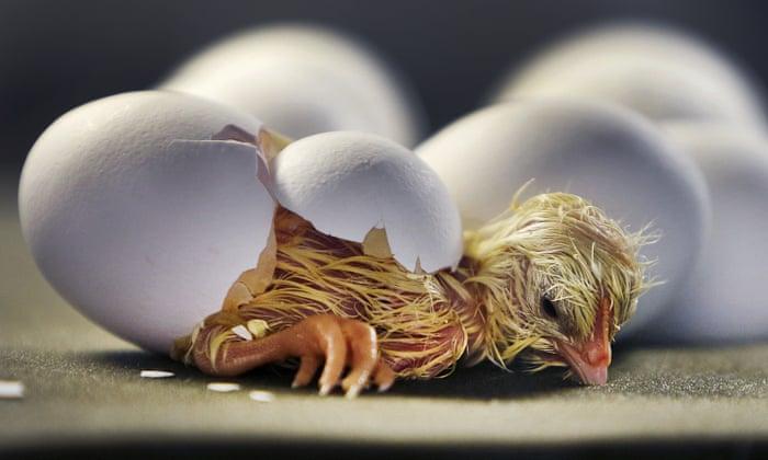 هچ نشدن تخم ها