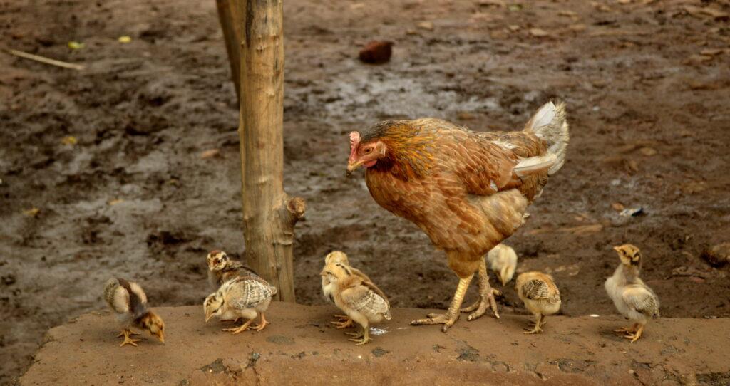 بیماری مارک در مرغ